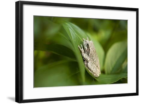 Cope's Gray Tree Frog Hiding in a Peony Bush Near Cross Lake, Minnesota-Joel Sartore-Framed Art Print