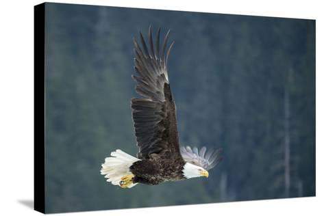 A Bald Eagle in Flight Near Petersburg, Inside Passage, Alaska-Michael Melford-Stretched Canvas Print
