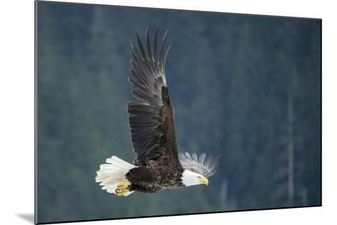 A Bald Eagle in Flight Near Petersburg, Inside Passage, Alaska-Michael Melford-Mounted Photographic Print