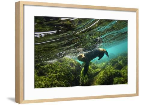 A Galapagos Sea Lion Frolics Just Beneath the Ocean Surface-Cory Richards-Framed Art Print