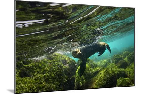A Galapagos Sea Lion Frolics Just Beneath the Ocean Surface-Cory Richards-Mounted Photographic Print