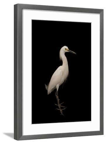 A Snowy Egret, Egretta Thula, at the Lincoln Children's Zoo-Joel Sartore-Framed Art Print