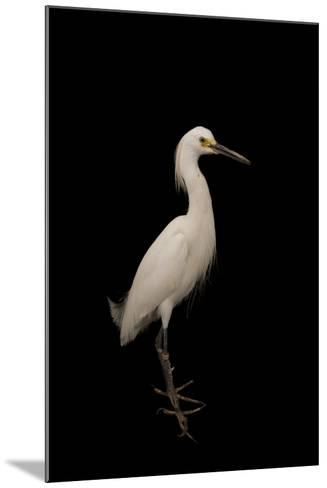 A Snowy Egret, Egretta Thula, at the Lincoln Children's Zoo-Joel Sartore-Mounted Photographic Print