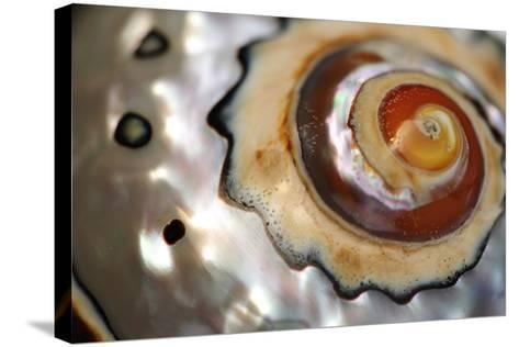Close Up of a Polished Moon Snail Shell-Darlyne A^ Murawski-Stretched Canvas Print