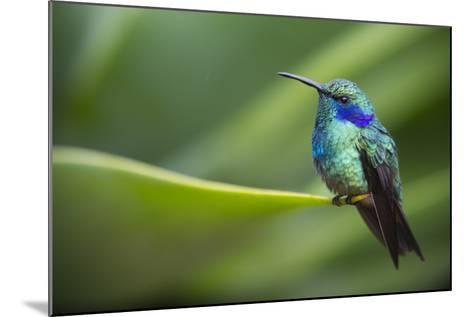 A Perching Green Violet Ear Hummingbird-Roy Toft-Mounted Photographic Print