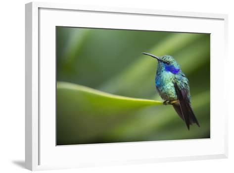 A Perching Green Violet Ear Hummingbird-Roy Toft-Framed Art Print