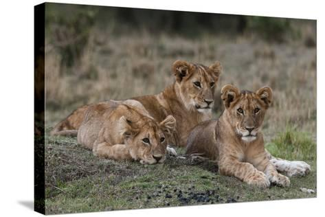 Three Lion Cubs, Panthera Leo, Resting Together-Sergio Pitamitz-Stretched Canvas Print