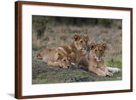 Three Lion Cubs, Panthera Leo, Resting Together-Sergio Pitamitz-Framed Art Print