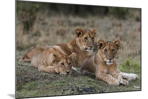 Three Lion Cubs, Panthera Leo, Resting Together-Sergio Pitamitz-Mounted Photographic Print