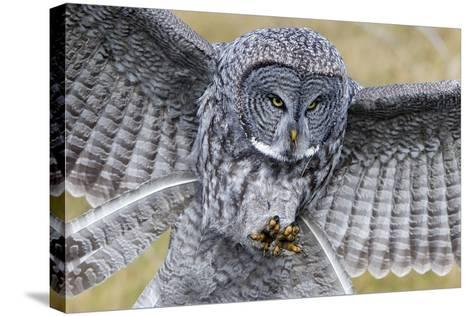 A Great Gray Owl Focuses in on its Next Meal-Barrett Hedges-Stretched Canvas Print