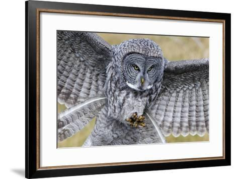 A Great Gray Owl Focuses in on its Next Meal-Barrett Hedges-Framed Art Print