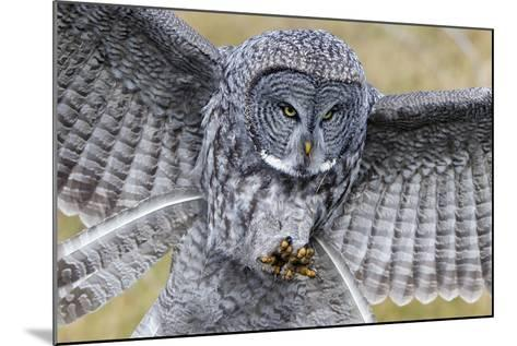 A Great Gray Owl Focuses in on its Next Meal-Barrett Hedges-Mounted Photographic Print