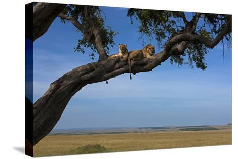 Two Lions Lying Next to Each Other in a Tree-Beverly Joubert-Stretched Canvas Print
