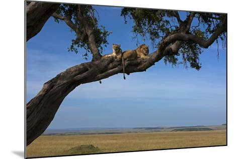 Two Lions Lying Next to Each Other in a Tree-Beverly Joubert-Mounted Photographic Print