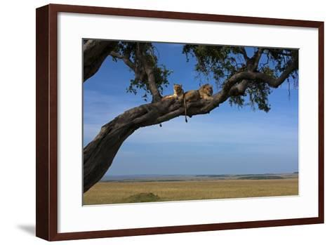 Two Lions Lying Next to Each Other in a Tree-Beverly Joubert-Framed Art Print