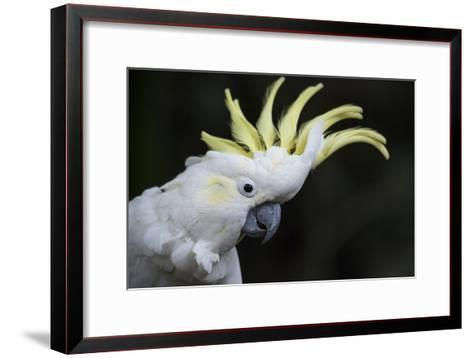 Portrait of a Sulphur-Crested Cockatoo-Michael Melford-Framed Art Print