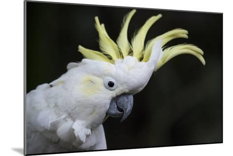 Portrait of a Sulphur-Crested Cockatoo-Michael Melford-Mounted Photographic Print