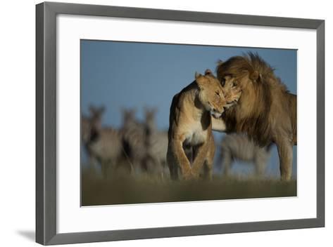 An Adult Male Lion Approaches a Vumbi Female-Michael Nichols-Framed Art Print