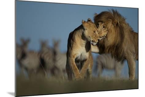 An Adult Male Lion Approaches a Vumbi Female-Michael Nichols-Mounted Photographic Print
