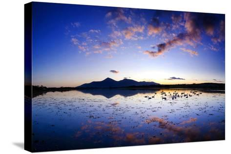 Swans at Dusk on Dundrum Bay, Mournes, County Down-Chris Hill-Stretched Canvas Print