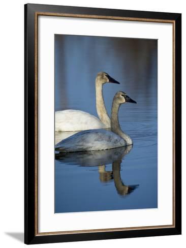A Pair of Trumpeter Swans, Cygnus Buccinator, Swimming-Michael S^ Quinton-Framed Art Print