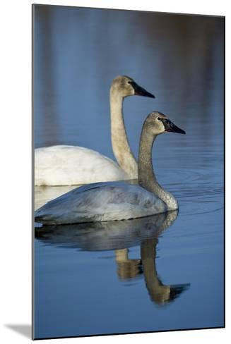 A Pair of Trumpeter Swans, Cygnus Buccinator, Swimming-Michael S^ Quinton-Mounted Photographic Print