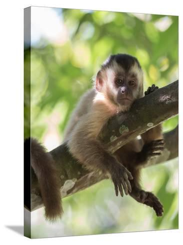A Young Black Capped Capuchin Monkey Rests on a Tree-Alex Saberi-Stretched Canvas Print