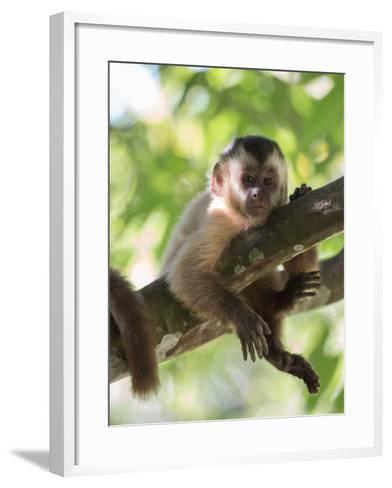 A Young Black Capped Capuchin Monkey Rests on a Tree-Alex Saberi-Framed Art Print