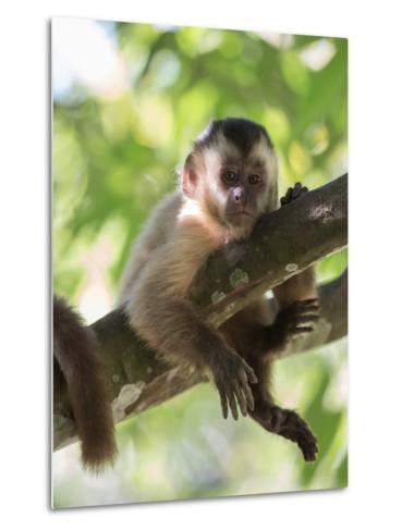 A Young Black Capped Capuchin Monkey Rests on a Tree-Alex Saberi-Metal Print