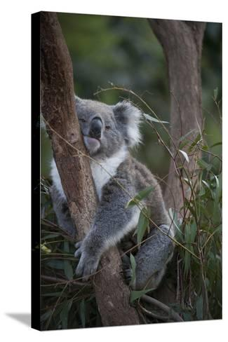 A Federally Threatened Koala at a Wildlife Sanctuary-Joel Sartore-Stretched Canvas Print