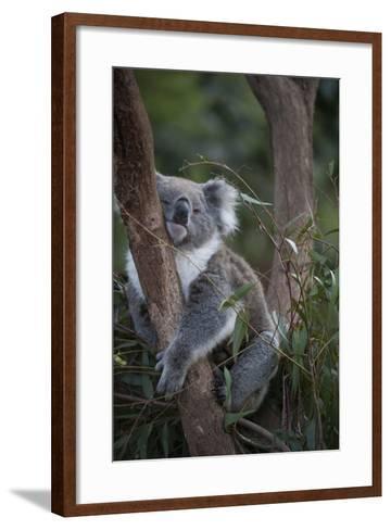 A Federally Threatened Koala at a Wildlife Sanctuary-Joel Sartore-Framed Art Print