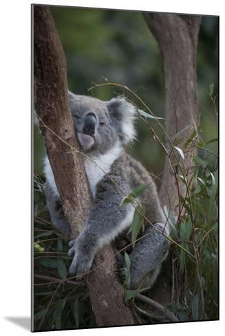 A Federally Threatened Koala at a Wildlife Sanctuary-Joel Sartore-Mounted Photographic Print
