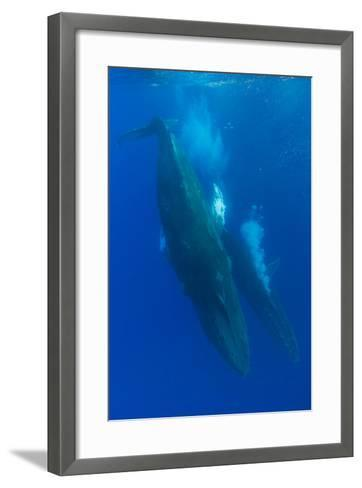 Two Humpback Whales Competitively Dive in the Pacific-Ralph Lee Hopkins-Framed Art Print