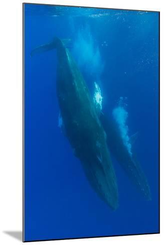 Two Humpback Whales Competitively Dive in the Pacific-Ralph Lee Hopkins-Mounted Photographic Print