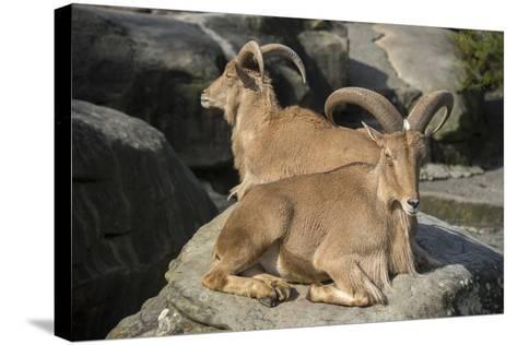 Barbary Sheep, Ammotragus Lervia, at the Taronga Zoo-Joel Sartore-Stretched Canvas Print