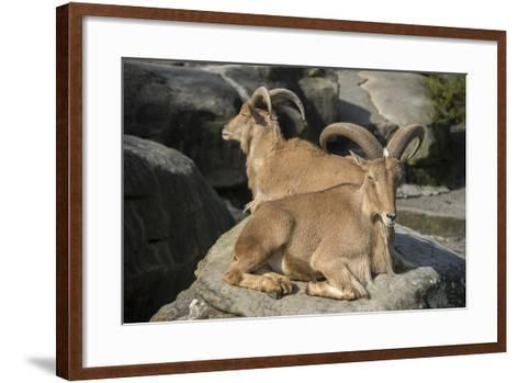 Barbary Sheep, Ammotragus Lervia, at the Taronga Zoo-Joel Sartore-Framed Art Print