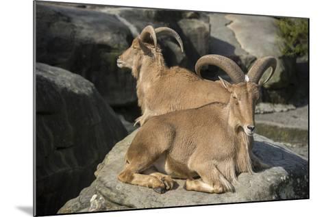 Barbary Sheep, Ammotragus Lervia, at the Taronga Zoo-Joel Sartore-Mounted Photographic Print