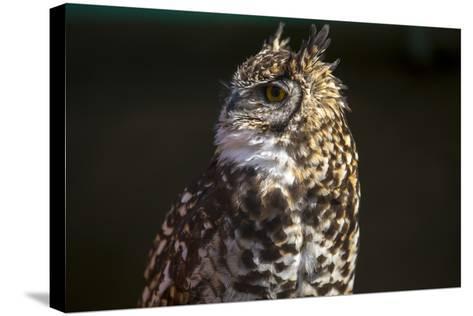 Portrait of a Spotted Eagle-Owl, Bubo Africanus-Stephen Alvarez-Stretched Canvas Print
