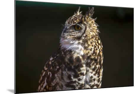 Portrait of a Spotted Eagle-Owl, Bubo Africanus-Stephen Alvarez-Mounted Photographic Print