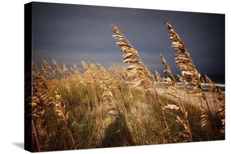 Dune Grasses in Cape Hatteras in North Carolina-Chris Bickford-Stretched Canvas Print