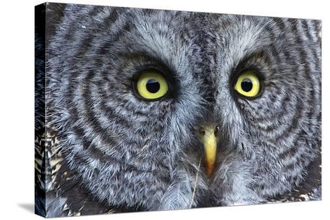 The Eyes of a Great Gray Owl-Barrett Hedges-Stretched Canvas Print