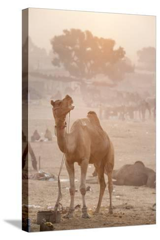 A Camel in the Desert at Sunrise-Jonathan Kingston-Stretched Canvas Print
