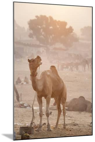 A Camel in the Desert at Sunrise-Jonathan Kingston-Mounted Photographic Print