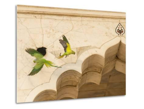 Ring Necked Parrots at Agra Fort-Michael Melford-Metal Print