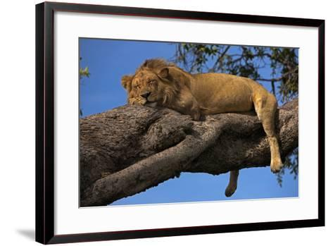 A Male Lion Sleeping in a Tree-Beverly Joubert-Framed Art Print