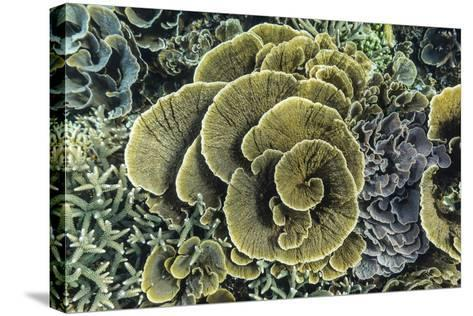 A Profusion of Hard and Soft Coral Underwater on Siaba Kecil-Michael Nolan-Stretched Canvas Print