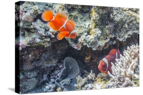 A Pair of Spinecheek Anemonefish (Premnas Biaculeatus)-Michael Nolan-Stretched Canvas Print