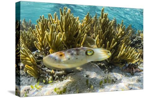 Adult Broadclub Cuttlefish (Sepia Latimanus)-Michael Nolan-Stretched Canvas Print