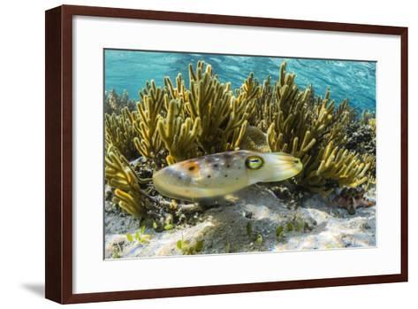 Adult Broadclub Cuttlefish (Sepia Latimanus)-Michael Nolan-Framed Art Print