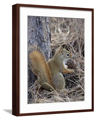 American Red Squirrel (Red Squirrel) (Spruce Squirrel) (Tamiasciurus Hudsonicus) with a Pine Cone-James Hager-Framed Art Print